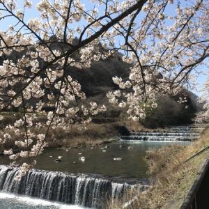 箱根 桜狩りはこちらへ
