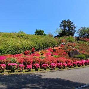 小室山公園のつつじ   見ごろを迎えました!!!