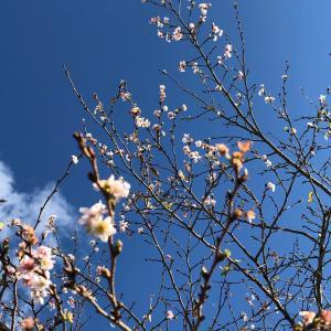 ●季節外れの桜●