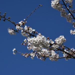 東京の桜は2分咲です