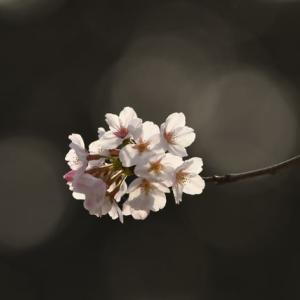コロナウィルスと桜と消えた携帯電話
