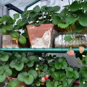 ベランダのイチゴが増えてます