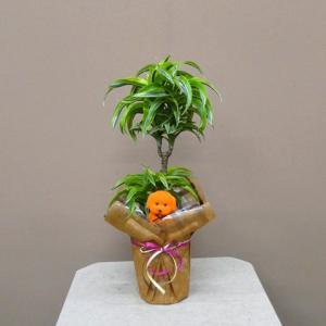 お歳暮に観葉植物 ドラセナ