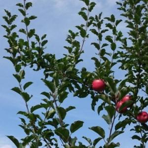 リンゴ狩りに行きました。