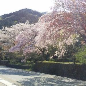 祈り はかなくも、終わり美し、今年の桜