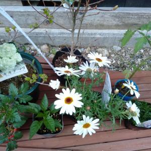 こんな時は庭仕事 道路脇のグランドカバーにタピアンを植えます