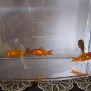 孫の金魚が大きくなってきました。