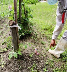 「地球最悪の侵略的植物」淡路島で畑に広がる…駆除作業実らず。