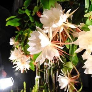 華麗な大輪、住民を魅了 月下美人が一夜限りの開花。