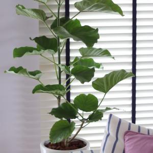 観葉植物 フェカス・ウンベラータのご紹介