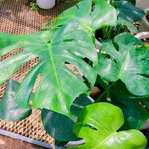 観葉植物 今!バブルらしいです。斑入り モンステラ フィロデンドロン コウモリラン
