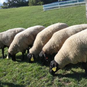 【羊・羊・羊 まきば公園】