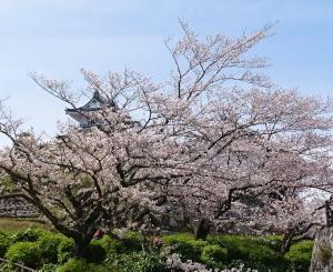 お城の桜は?・・・・その2