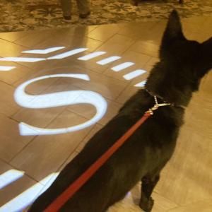 愛犬ザビと初のホテルお泊まり@シェラトン