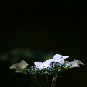 豊平公園の紫陽花  2020/07/18