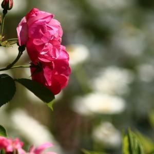 薔薇とネモフィラ  2021/06/26