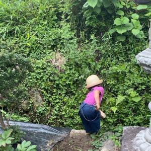 梅雨の庭 ピーマン