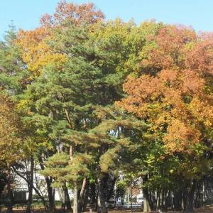 師走に残る所沢航空記念公園の紅葉(埼玉・所沢)