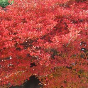 名残の紅葉を求めて椿峰緑道から狭山湖へ(埼玉・所沢)