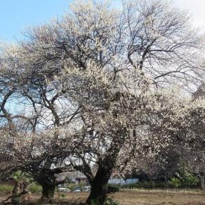 市内のあちこちで梅が見頃に(埼玉・所沢)