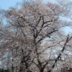 桜の見ごろになった東川沿いを歩く(埼玉・所沢)