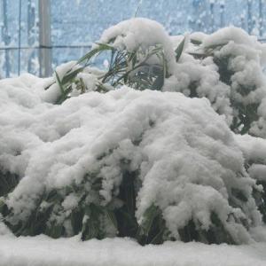 桜満開の3月下旬に季節外れの雪が(埼玉・所沢)