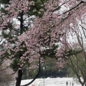 散り始めた桜と雪残る航空記念公園へ(埼玉・所沢)