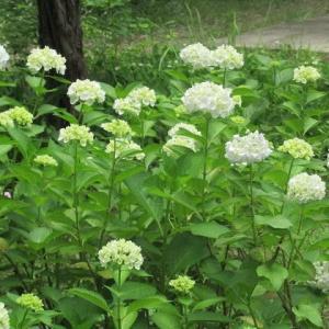 美原中校庭に咲く初夏の花(埼玉・所沢)