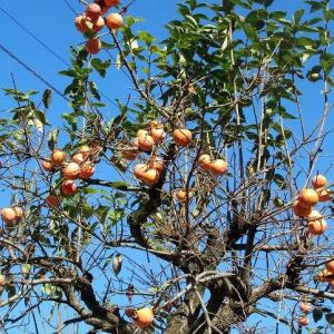 秋深まり柿の実色づく