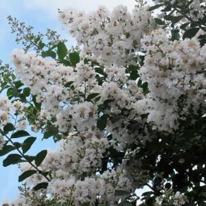 東京オリンピック開会式の日に咲く夏の花(埼玉・所沢)