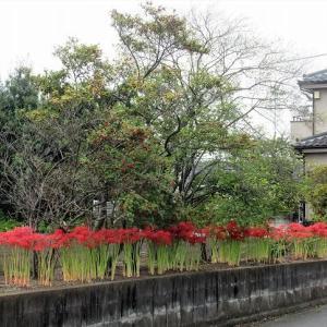 ウメモドキの下に咲くヒガンバナ(埼玉・所沢)