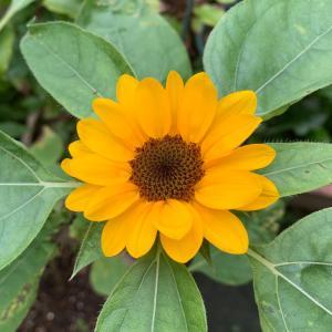 今日から8月、梅雨明け、そしてひまわりの開花!!