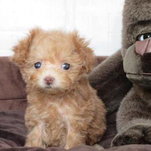 トイプードル子犬 女の子をお探しなら:専門犬舎直営ハウスより
