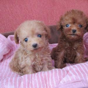 トイプードル仔犬情報:6頭の女の子見学できます。