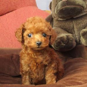 トイプードル子犬情報:女の子4頭見学できます=専門犬舎直営ハウス