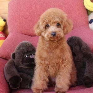トイプードル子犬のご案内:7頭ご見学できます*トイプーガーデンハウス