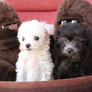 トイプードル子犬情報:シルバー・ホワイト姉妹デビュー。7頭見学できます