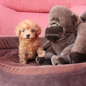 トイプードル子犬10頭(現在5頭&次週5頭デビュー)が見学できます:専門犬舎直営ハウス