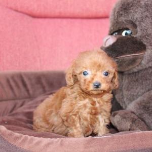 5頭のトイプードル子犬を見学できます:専門犬舎直営ハウス