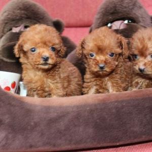 トイプードル子犬:3頭デビュー 7頭見学できます