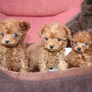 10頭のトイプードル子犬情報・動画 更新しました