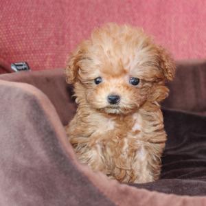 トイプードル子犬10頭を紹介しています:埼玉県さいたま市で