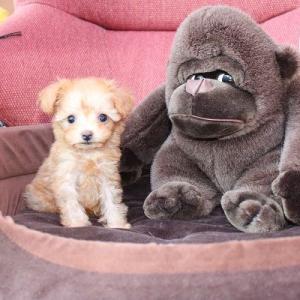 ホームページ・動画更新しました:トイプードル子犬10頭