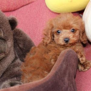 トイプードル子犬情報:9頭動画=ホームページ更新しました