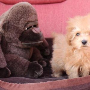 トイプードル子犬情報8頭:動画ホームページ更新しました