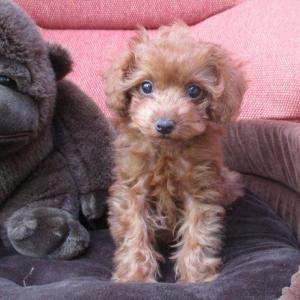 トイプードル子犬をお探しなら:8頭掲載しています