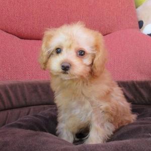 トイプードル子犬情報 8頭の動画も更新しました:専門犬舎直営ハウス