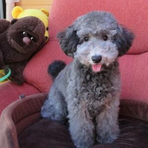 トイプードル子犬情報・動画更新しました:埼玉県さいたま市にて