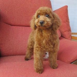 トイプードル情報:子犬4頭のホームページ更新しました