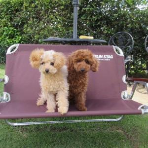 ドッグラン遊びのできるトイプードル女の子情報:専門犬舎直営ハウス
